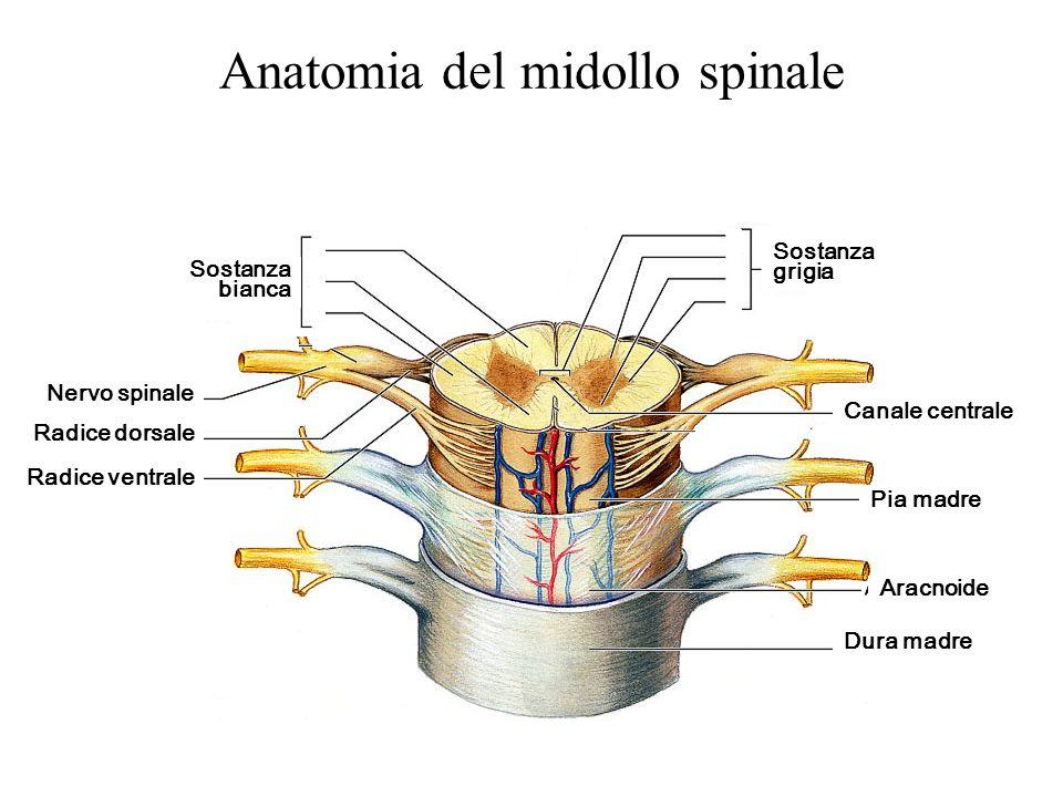 Anatomia del midollo spinale