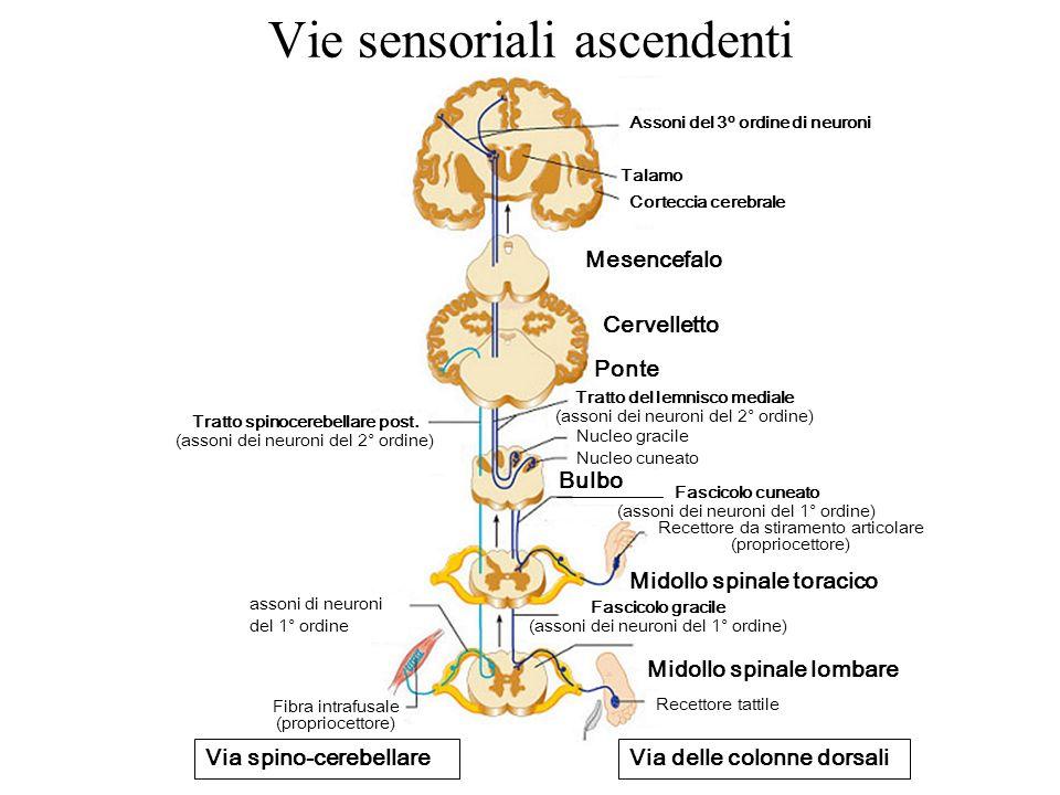 Vie sensoriali ascendenti