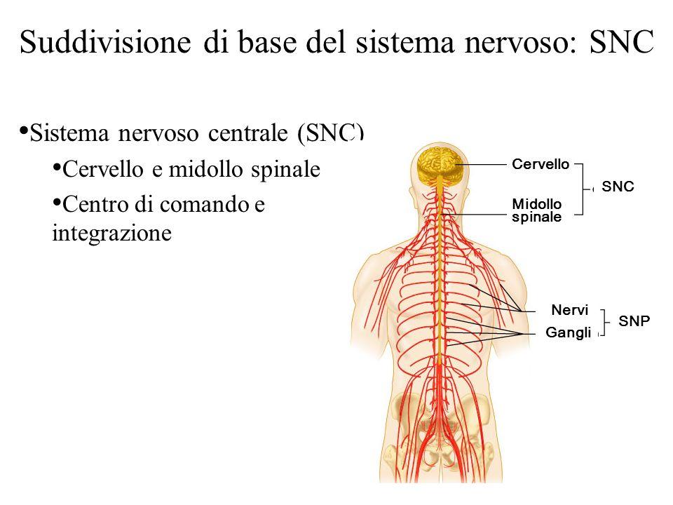 Suddivisione di base del sistema nervoso: SNC