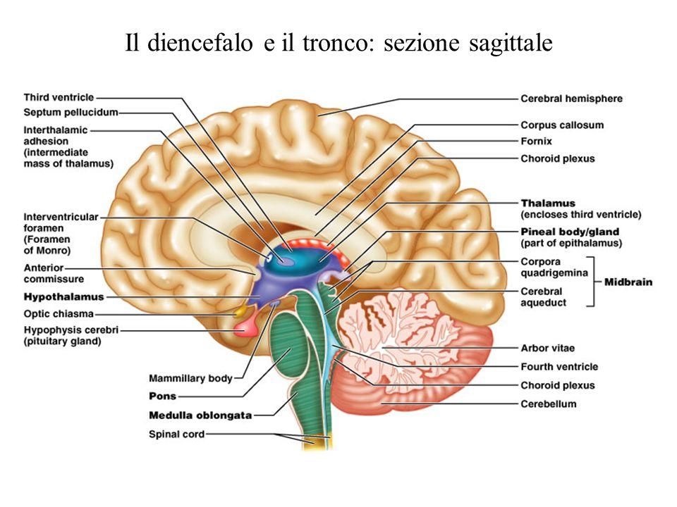 Il diencefalo e il tronco: sezione sagittale
