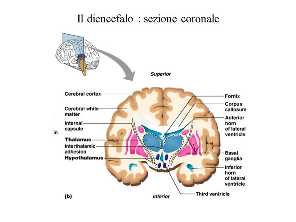 Il diencefalo : sezione coronale