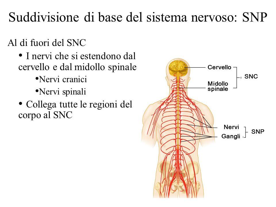 Suddivisione di base del sistema nervoso: SNP