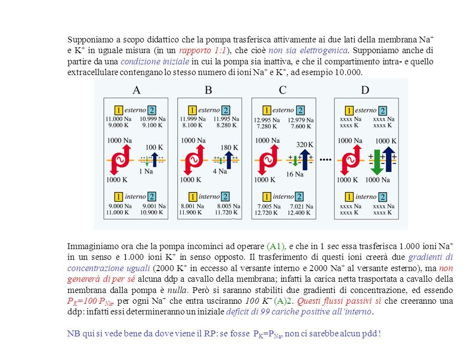 Supponiamo a scopo didattico che la pompa trasferisca attivamente ai due lati della membrana Na+ e K+ in uguale misura (in un rapporto 1:1), che cioè non sia elettrogenica. Supponiamo anche di partire da una condizione iniziale in cui la pompa sia inattiva, e che il compartimento intra- e quello extracellulare contengano lo stesso numero di ioni Na+ e K+, ad esempio 10.000.