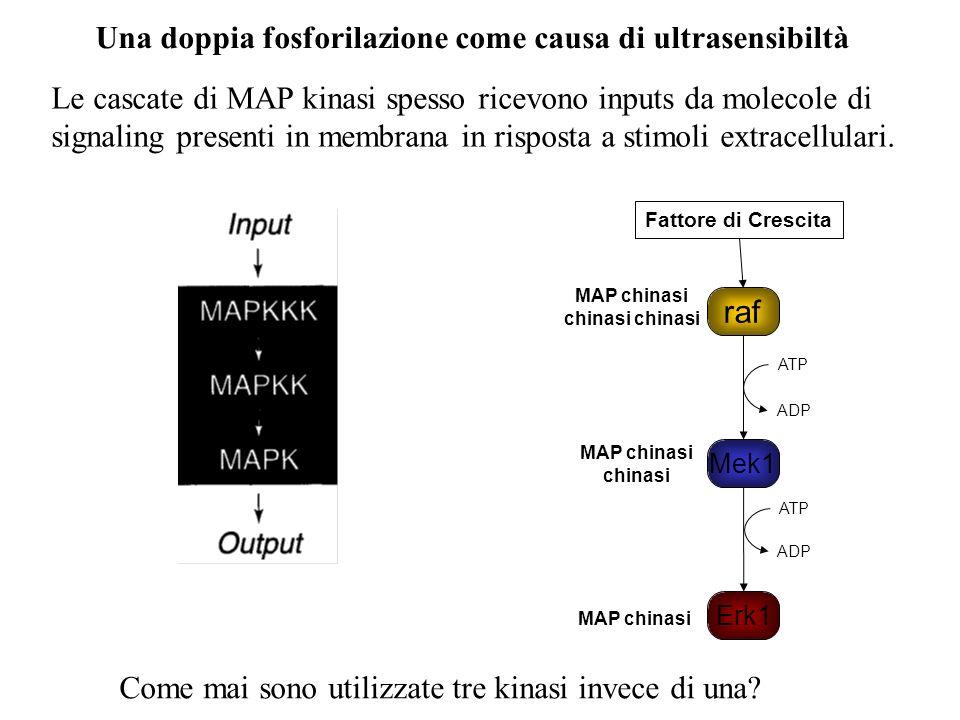 Una doppia fosforilazione come causa di ultrasensibiltà