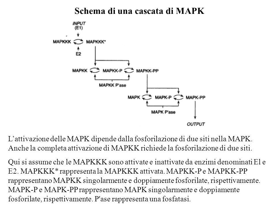 Schema di una cascata di MAPK