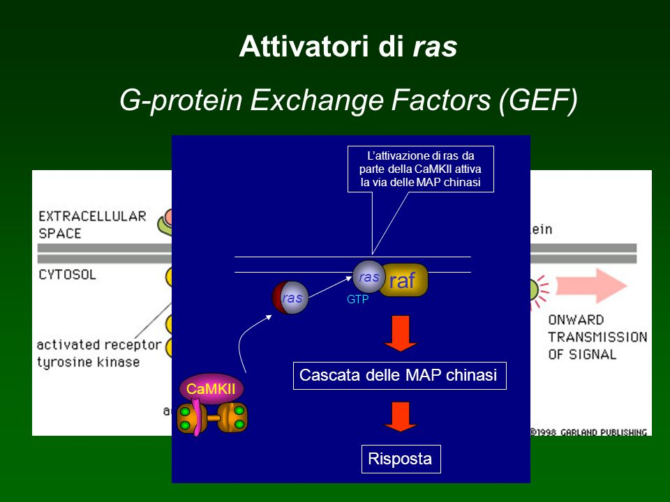 G-protein Exchange Factors (GEF)