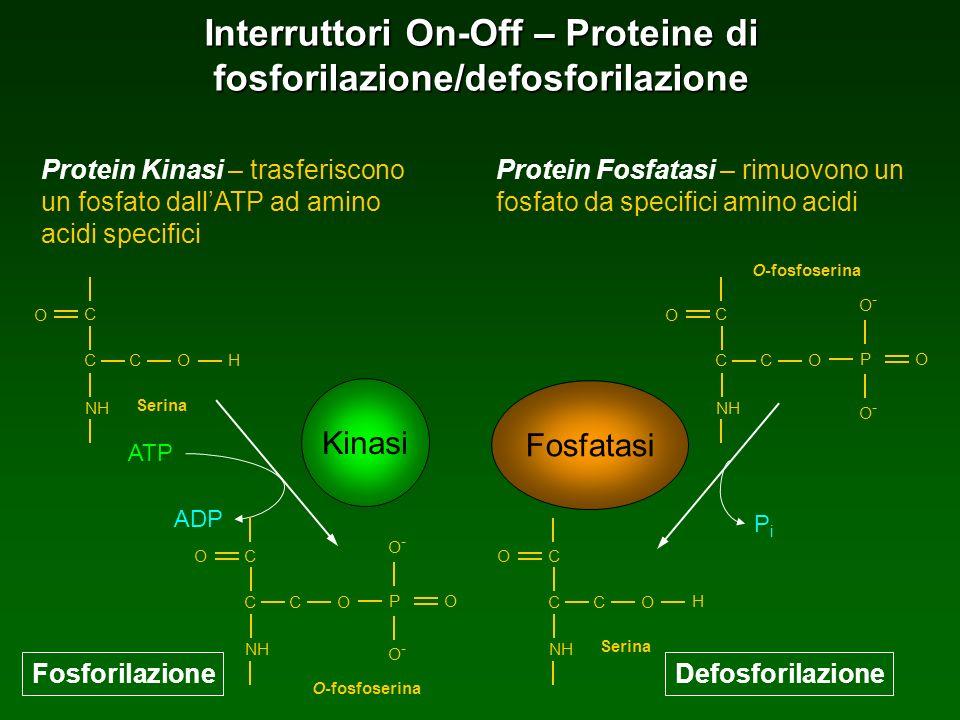 Interruttori On-Off – Proteine di fosforilazione/defosforilazione