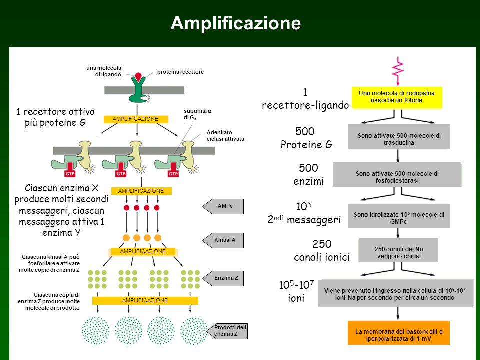 Amplificazione 1 recettore-ligando 500 Proteine G 500 enzimi