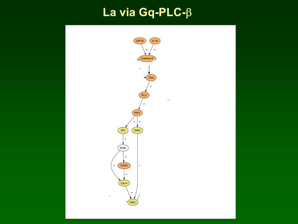 La via Gq-PLC-b