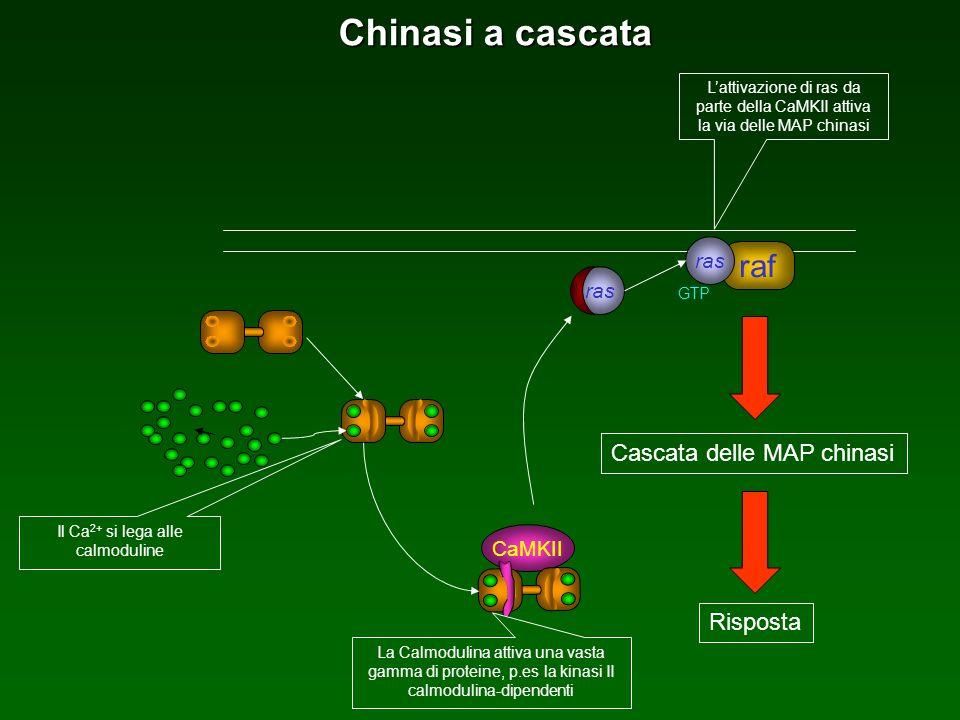 Il Ca2+ si lega alle calmoduline
