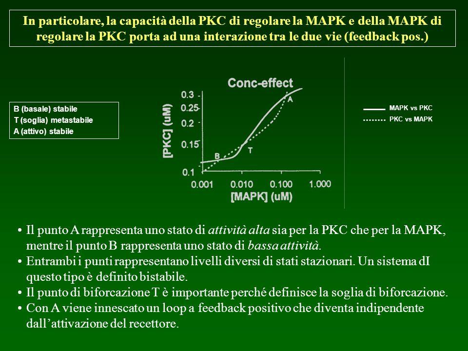 In particolare, la capacità della PKC di regolare la MAPK e della MAPK di regolare la PKC porta ad una interazione tra le due vie (feedback pos.)