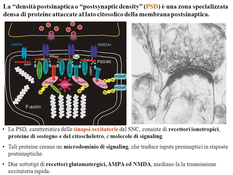 La densità postsinaptica o postsynaptic density (PSD) è una zona specializzata densa di proteine attaccate al lato citosolico della membrana postsinaptica.