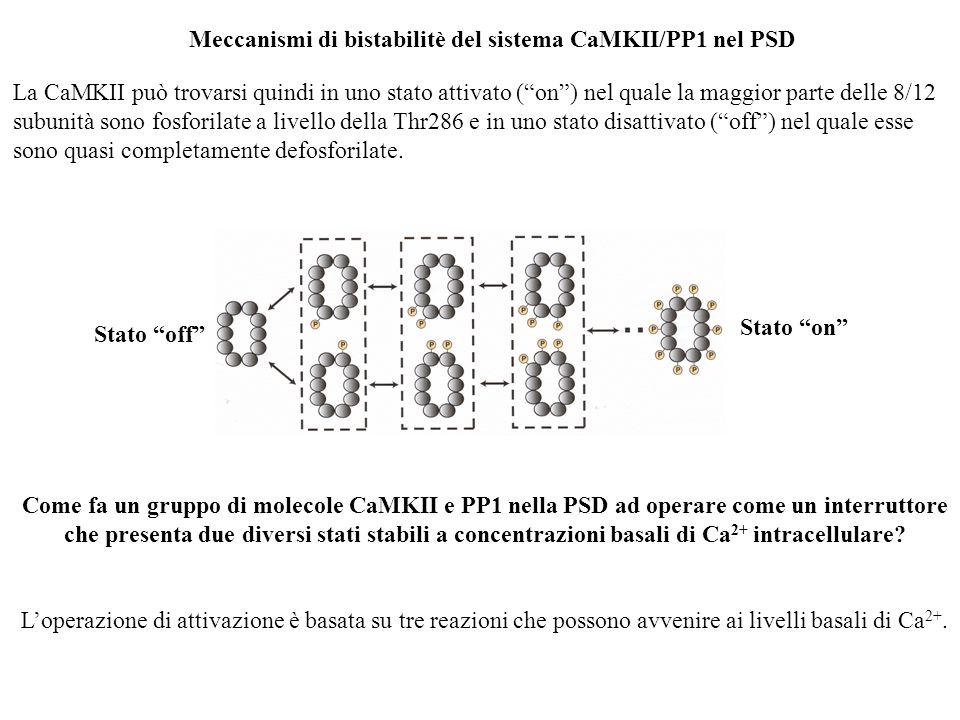 Meccanismi di bistabilitè del sistema CaMKII/PP1 nel PSD