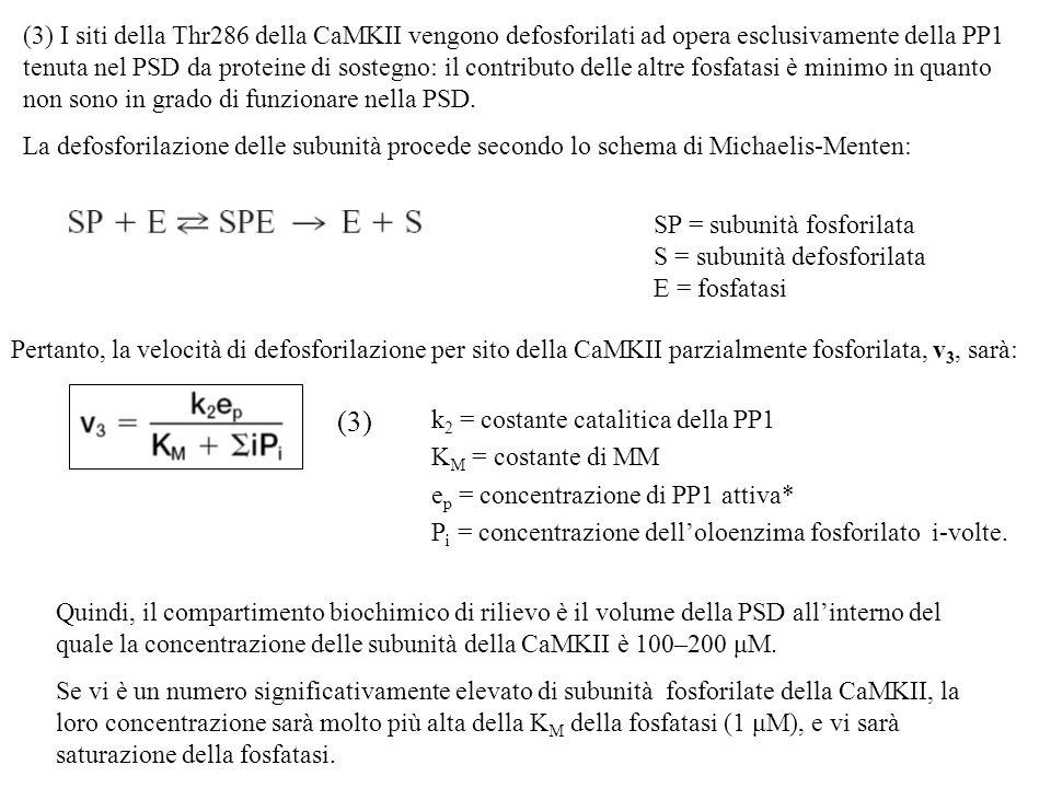 (3) I siti della Thr286 della CaMKII vengono defosforilati ad opera esclusivamente della PP1 tenuta nel PSD da proteine di sostegno: il contributo delle altre fosfatasi è minimo in quanto non sono in grado di funzionare nella PSD.