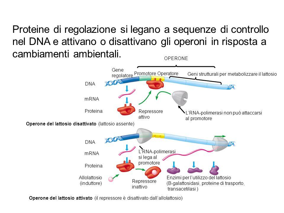 Proteine di regolazione si legano a sequenze di controllo nel DNA e attivano o disattivano gli operoni in risposta a cambiamenti ambientali.