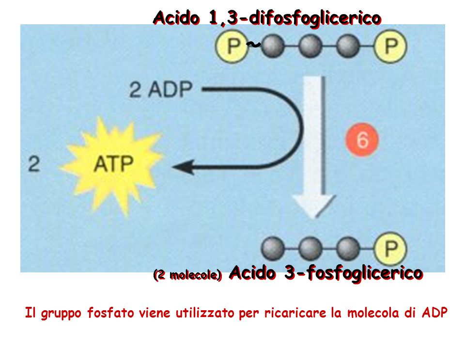 Il gruppo fosfato viene utilizzato per ricaricare la molecola di ADP