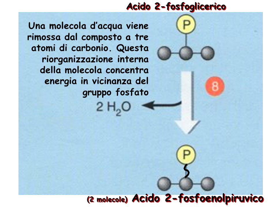 Acido 2-fosfoglicerico
