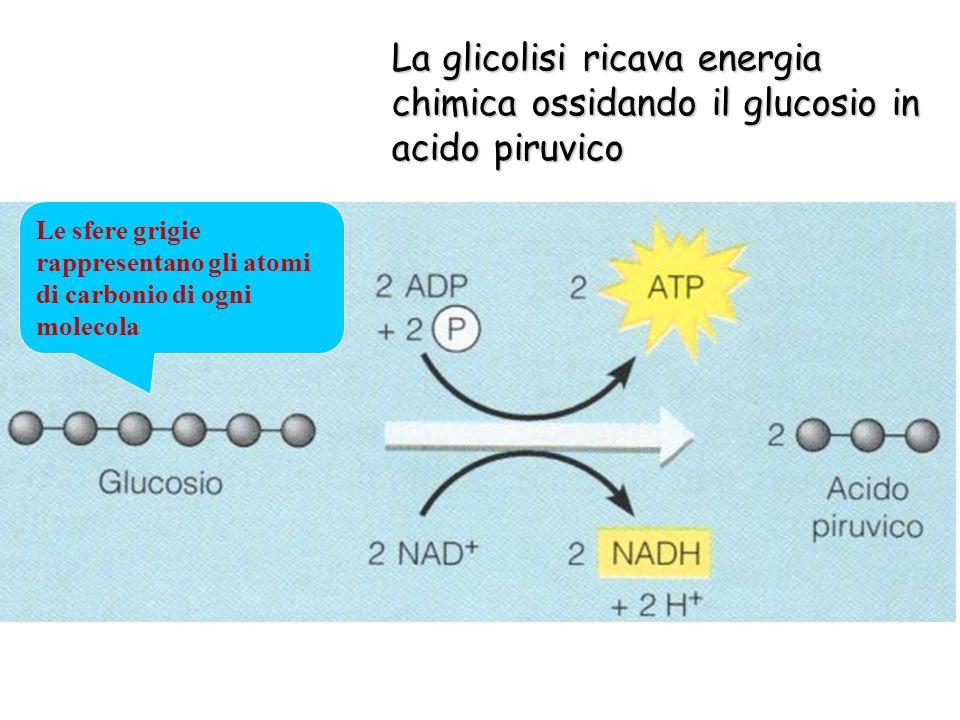 La glicolisi ricava energia chimica ossidando il glucosio in acido piruvico
