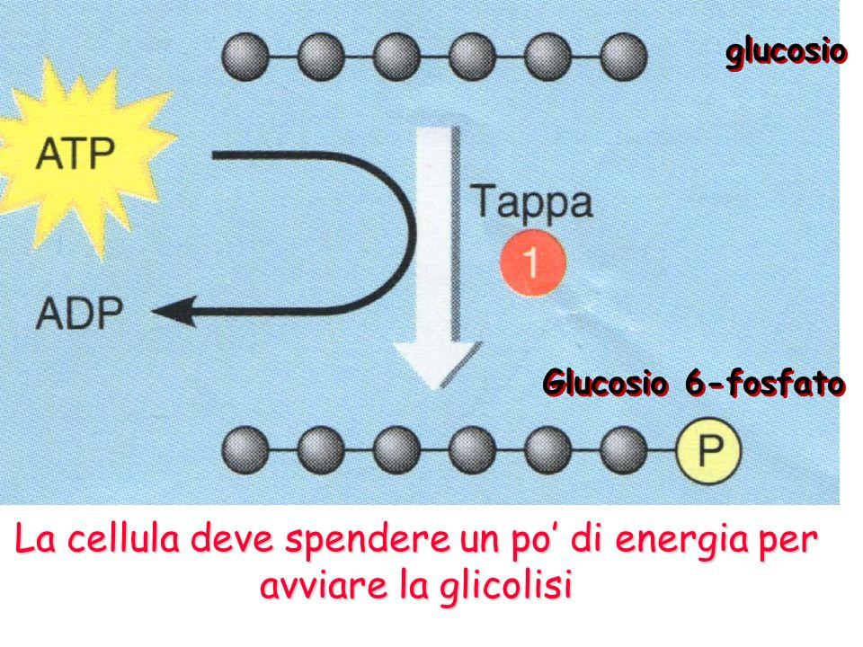 La cellula deve spendere un po' di energia per avviare la glicolisi