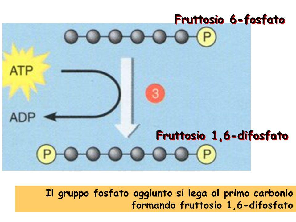 Fruttosio 6-fosfato Fruttosio 1,6-difosfato
