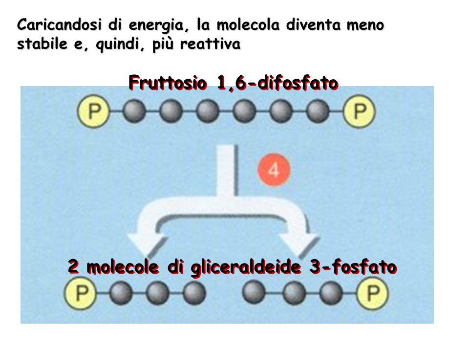 2 molecole di gliceraldeide 3-fosfato