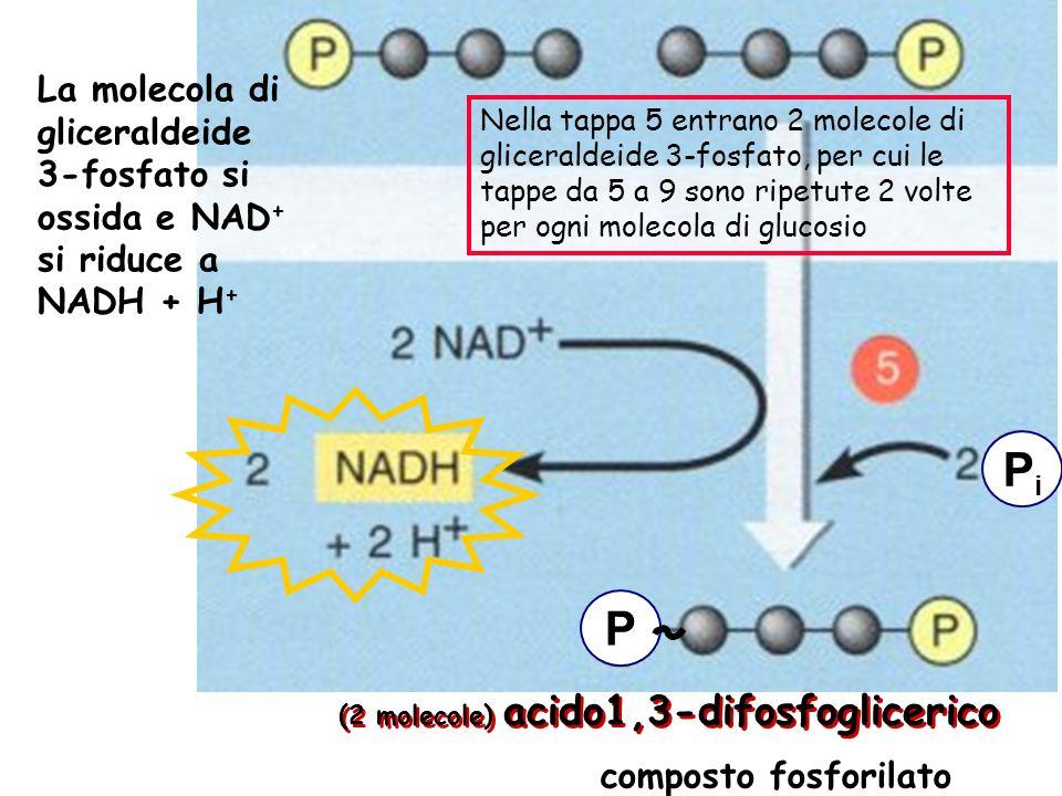 La molecola di gliceraldeide 3-fosfato si ossida e NAD+ si riduce a NADH + H+
