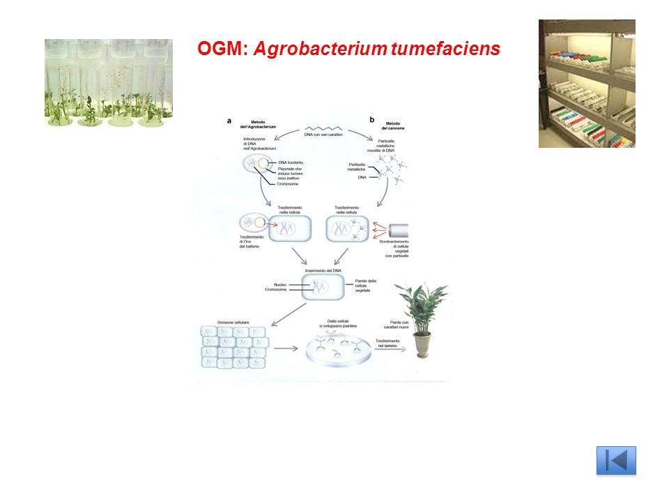 OGM: Agrobacterium tumefaciens