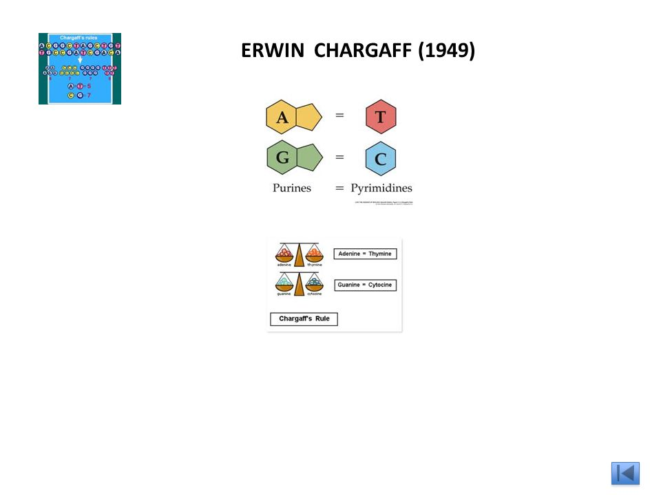 ERWIN CHARGAFF (1949)
