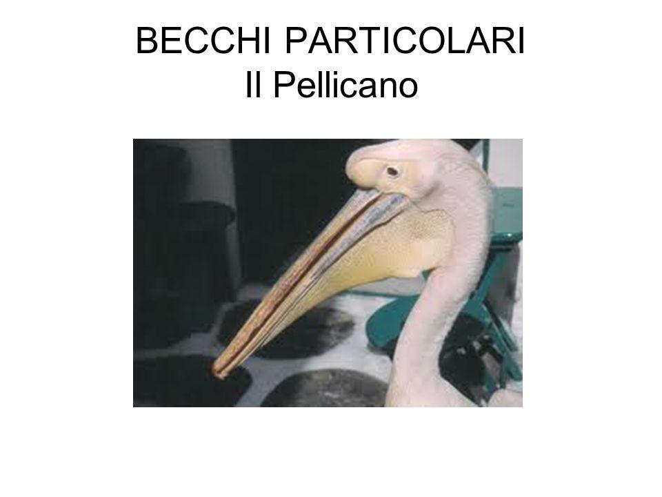 BECCHI PARTICOLARI Il Pellicano