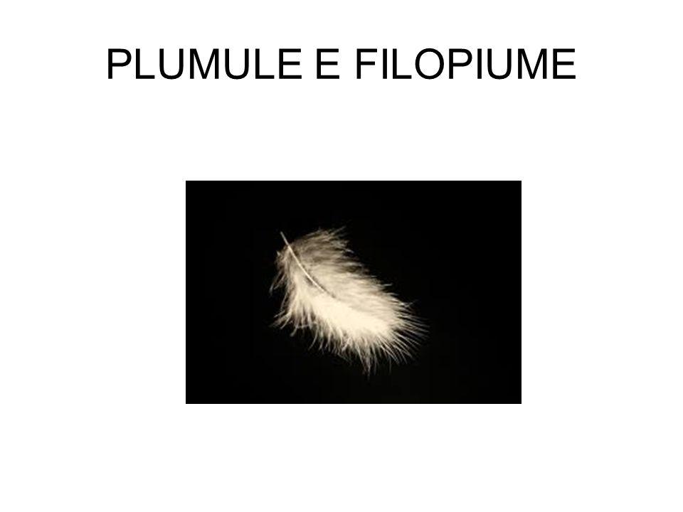 PLUMULE E FILOPIUME