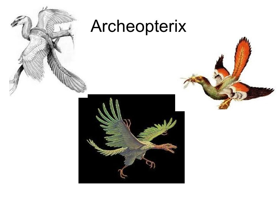 Archeopterix
