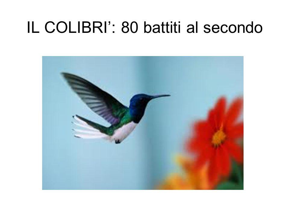 IL COLIBRI': 80 battiti al secondo