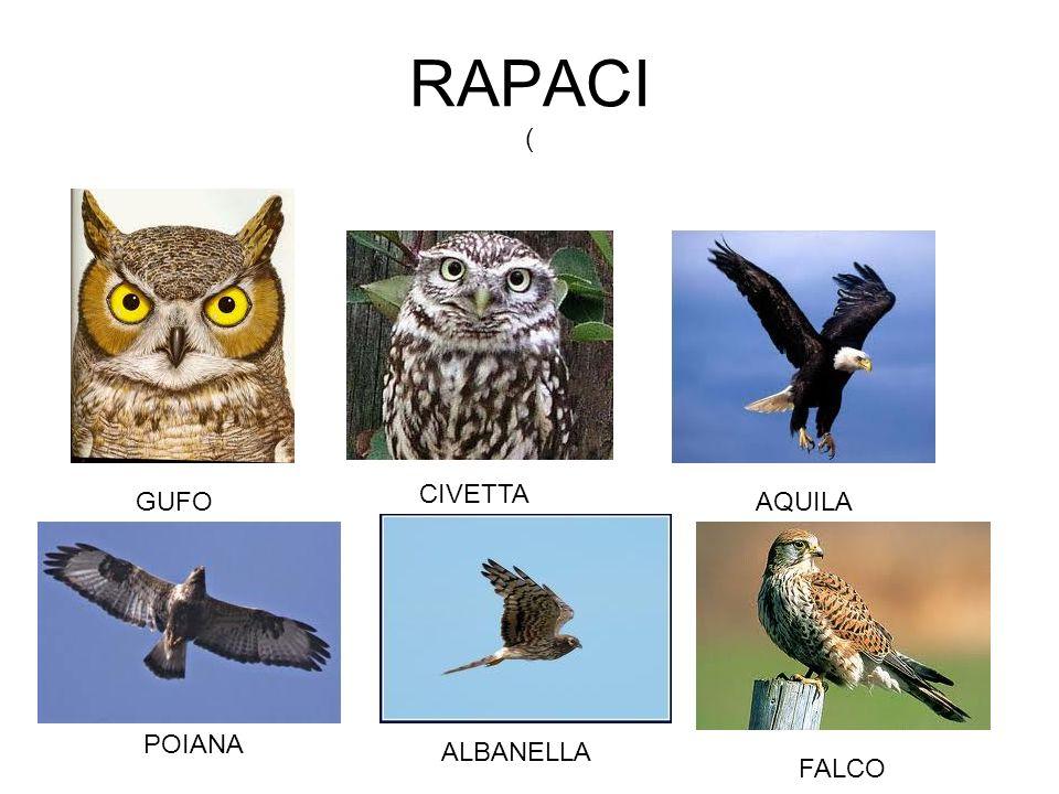 RAPACI ( CIVETTA GUFO AQUILA POIANA ALBANELLA FALCO