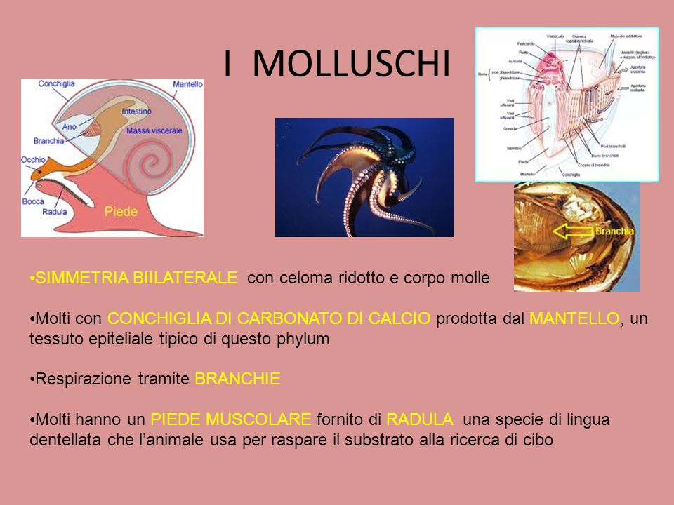 I MOLLUSCHI SIMMETRIA BIILATERALE con celoma ridotto e corpo molle