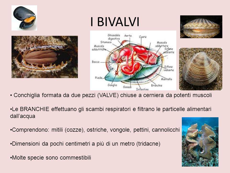 I BIVALVI Conchiglia formata da due pezzi (VALVE) chiuse a cerniera da potenti muscoli.