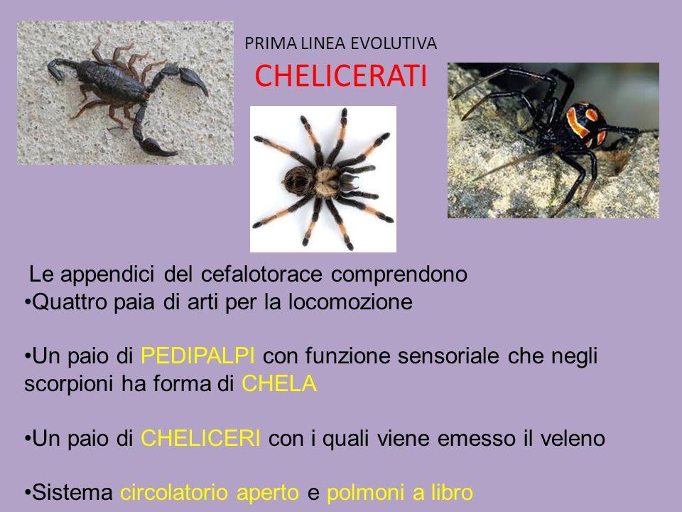 PRIMA LINEA EVOLUTIVA CHELICERATI
