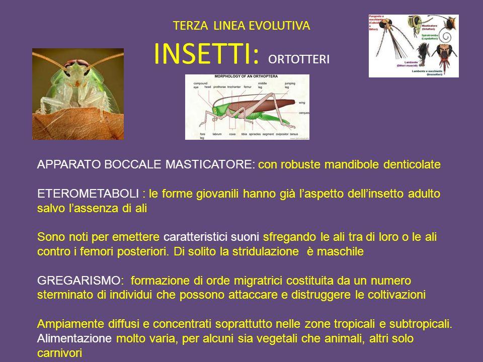 TERZA LINEA EVOLUTIVA INSETTI: ORTOTTERI