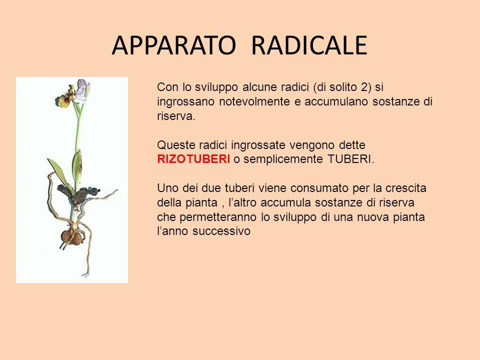 APPARATO RADICALE Con lo sviluppo alcune radici (di solito 2) si ingrossano notevolmente e accumulano sostanze di riserva.