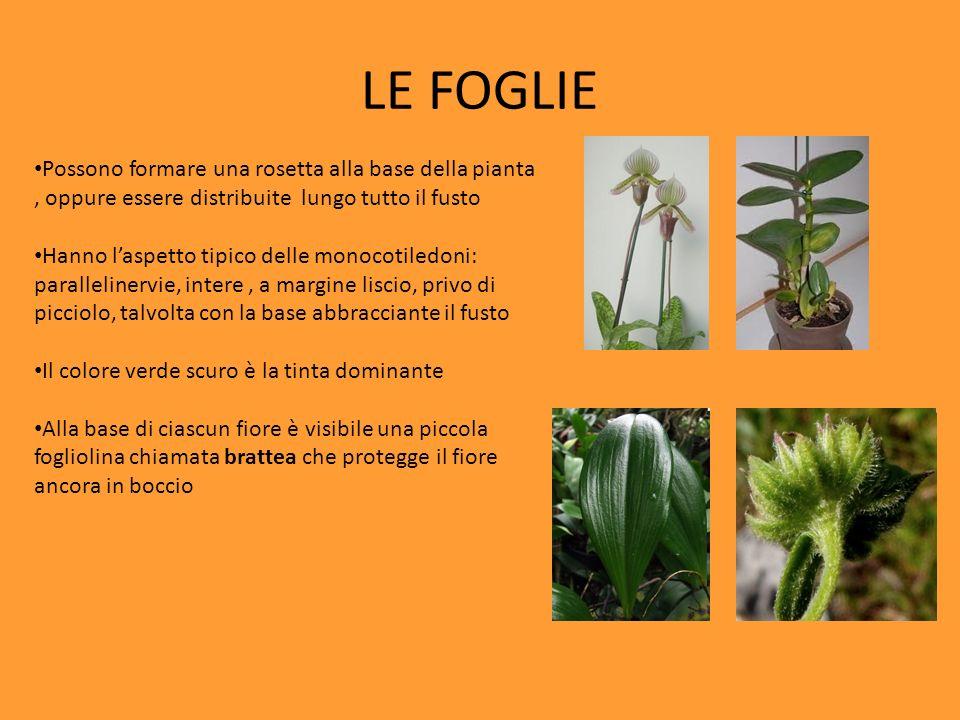 LE FOGLIE Possono formare una rosetta alla base della pianta , oppure essere distribuite lungo tutto il fusto.