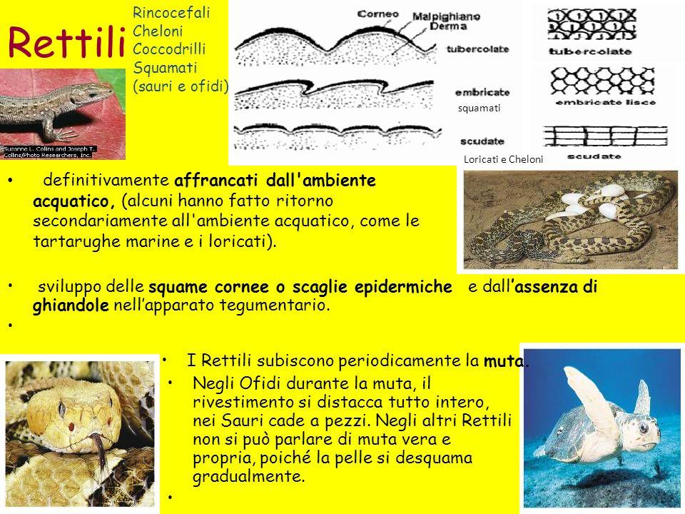 Rettili Rincocefali. Cheloni Coccodrilli Squamati. (sauri e ofidi) squamati. Loricati e Cheloni.