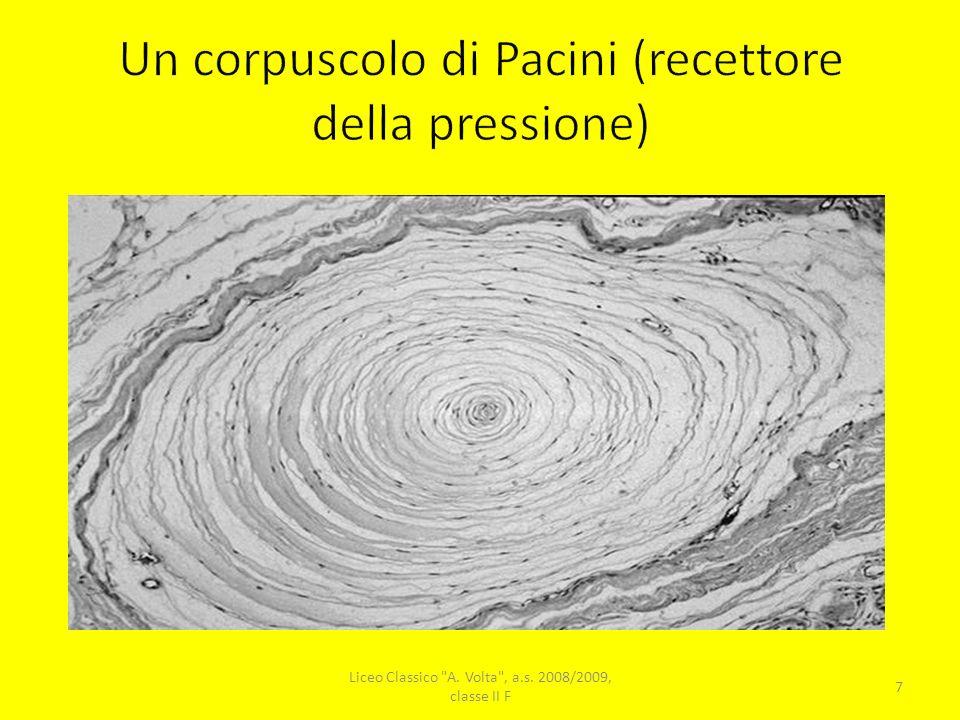 Un corpuscolo di Pacini (recettore della pressione)
