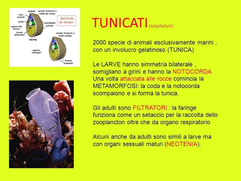 TUNICATI (subphylum) 2000 specie di animali esclusivamente marini , con un involucro gelatinoso (TUNICA)