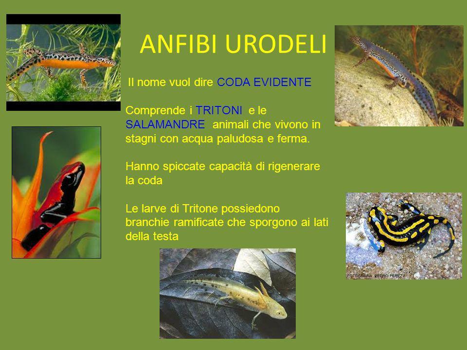 ANFIBI URODELIIl nome vuol dire CODA EVIDENTE. Comprende i TRITONI e le SALAMANDRE animali che vivono in stagni con acqua paludosa e ferma.