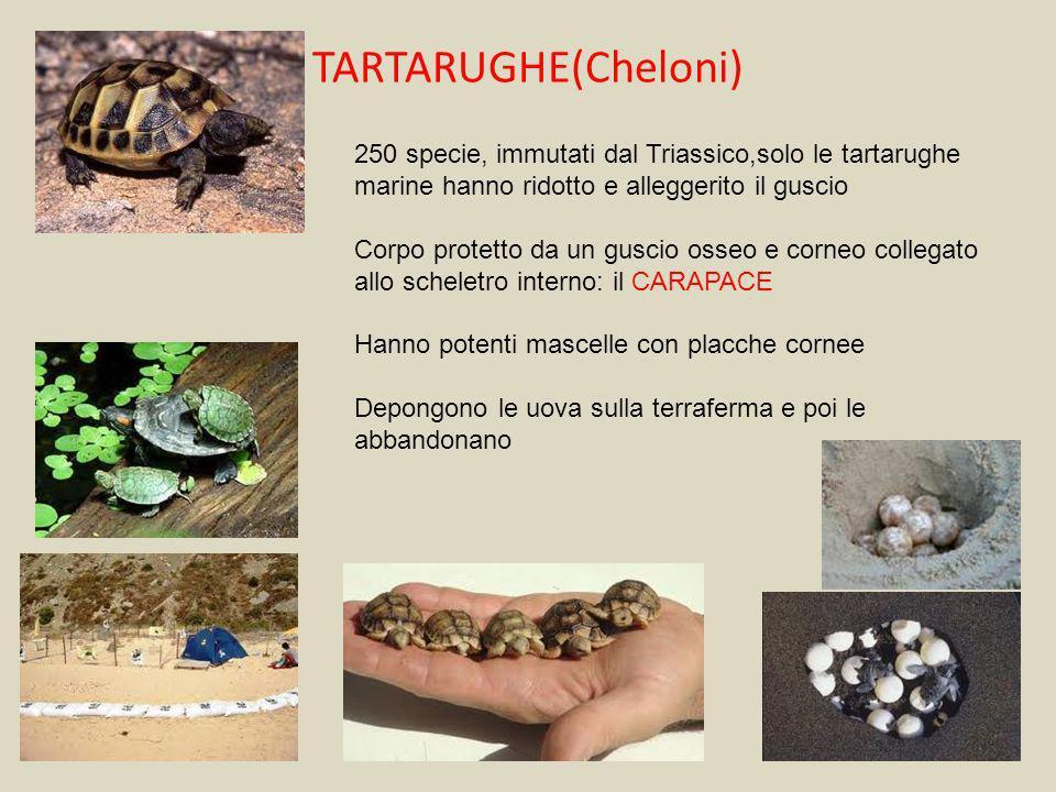 TARTARUGHE(Cheloni)250 specie, immutati dal Triassico,solo le tartarughe marine hanno ridotto e alleggerito il guscio.