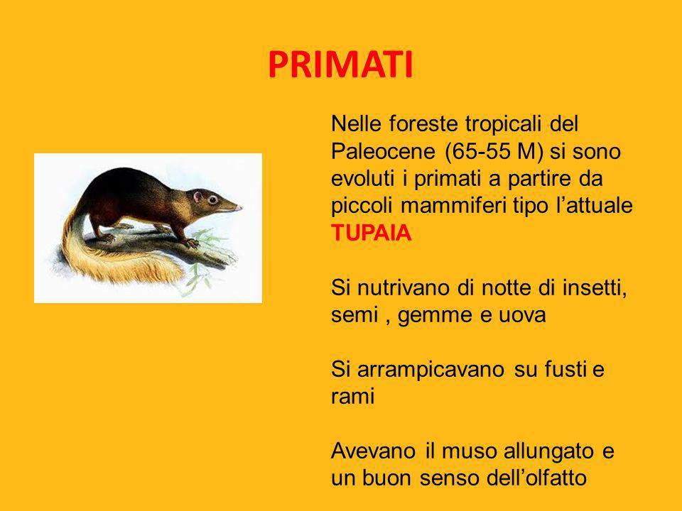 PRIMATI Nelle foreste tropicali del Paleocene (65-55 M) si sono evoluti i primati a partire da piccoli mammiferi tipo l'attuale TUPAIA.