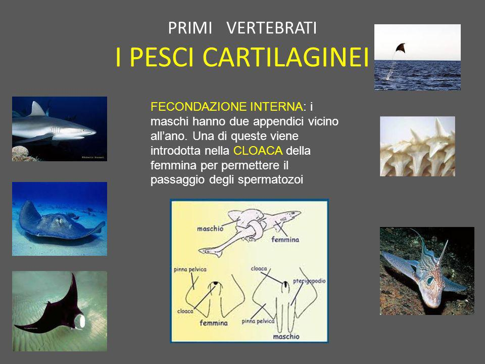 PRIMI VERTEBRATI I PESCI CARTILAGINEI