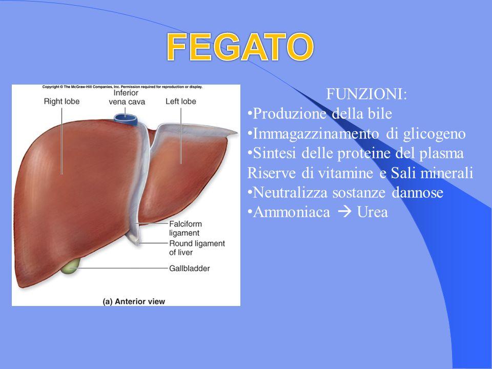 FEGATO FUNZIONI: Produzione della bile Immagazzinamento di glicogeno