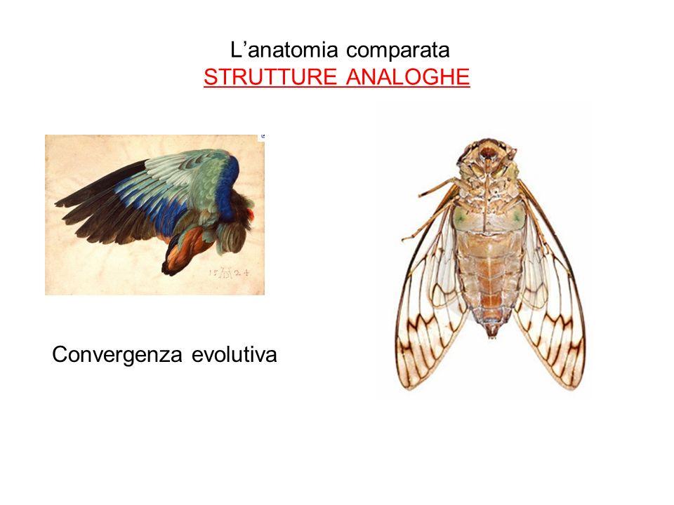 L'anatomia comparata STRUTTURE ANALOGHE