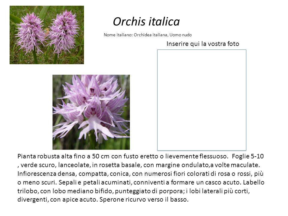 Orchis italica Inserire qui la vostra foto