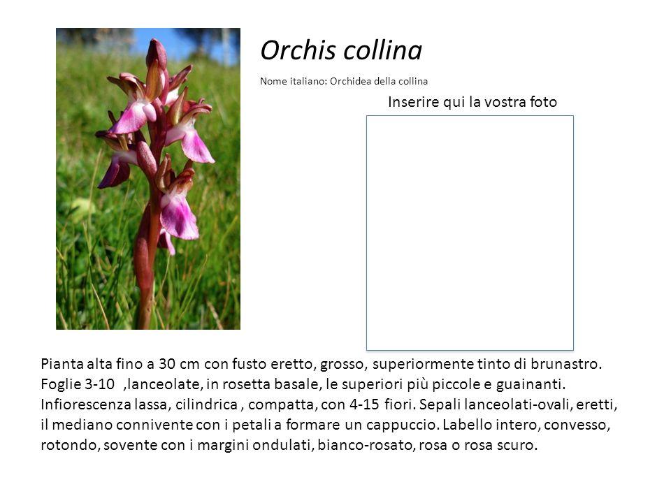 Orchis collina Inserire qui la vostra foto